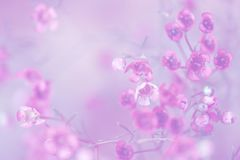Closeup of chamelaucium flowers on soft gray background. Selective focus stock photo