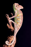 Closeup of chameleon Stock Image