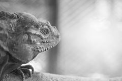 Closeup chameleon cling on the timber on blurred animal cage textured background in black and white tone with copy space. Closeup chameleon cling on timber on Stock Image