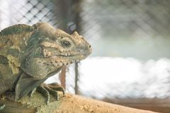 Closeup chameleon cling on the timber on blurred animal cage textured background with copy space. Closeup chameleon cling on timber on blurred animal cage Stock Photography