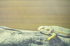 Closeup chameleon cling on the timber on blurred wood wall textured background with copy space. Closeup chameleon cling on the timber on blurred wood wall Royalty Free Stock Photo