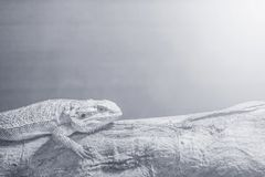 Closeup chameleon cling on the timber on blurred wood wall textured background in black and white tone with copy space stock photos