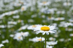 Closeup of chamomile Royalty Free Stock Photography