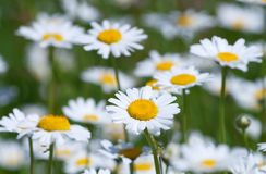 Closeup of chamomile Stock Image