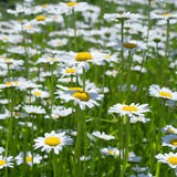 Closeup of chamomile Royalty Free Stock Image
