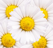 Closeup of chamomile flowers Stock Photography