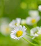 Closeup of  chamomile flowers and blur background Royalty Free Stock Images