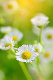 Closeup of  chamomile flowers and blur background Stock Images