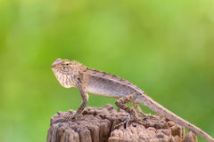 Closeup of Changeable lizard on tree Stock Photography
