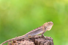 Closeup of Changeable lizard on tree Royalty Free Stock Photography