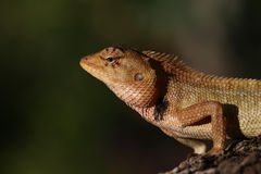 Closeup of Changeable lizard on tree Royalty Free Stock Photo