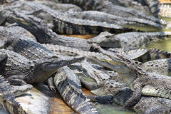 Closeup chapters of the crocodiles.  stock image