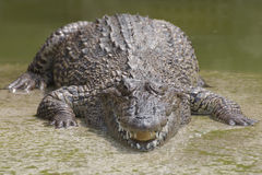 Closeup chapters of the crocodiles.  royalty free stock image
