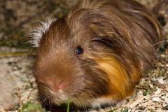 Closeup of a cheeky guinea pic Cavia porcellus. Closeup of a guinea pic Cavia porcellus while it is eating some grass Royalty Free Stock Images
