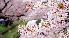 Closeup of cheery blossom branch with pink river covered by petals along the sakura tunnel royalty free stock photo