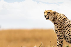 Closeup of Cheetah in Africa With Copy Space Royalty Free Stock Photo