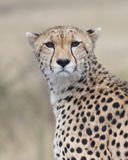 Closeup of cheetah face looking toward the camera with blurred background Stock Photo