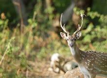 Closeup of Cheetal deer Stock Photos