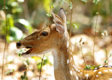 Closeup of Cheetal deer eating dry leaves Royalty Free Stock Photos