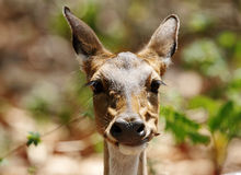 Closeup of Cheetal deer eating leaves Royalty Free Stock Image