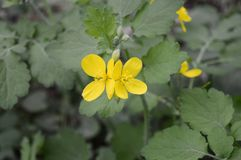 Bright yellow flowers of herbal celandine royalty free stock photography