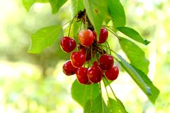 Closeup of cherries in the tree in summer Royalty Free Stock Photography