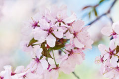 Closeup of cherry blossom background Stock Images