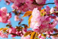 Closeup of cherry blossom flowers. Beautiful springtime background Royalty Free Stock Photo