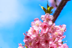 Closeup Cherry Blossoming, Japan Royaltyfri Fotografi