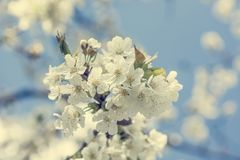 Closeup of cherry blossoms. Blooming fruit tree signals comming of the spring Stock Image