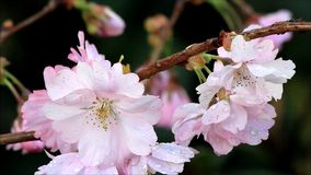 Closeup Cherry blossoms on tree in spring stock video footage