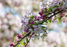 Closeup of Cherry Flower at Blossom Royalty Free Stock Image