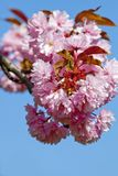 Closeup of Cherry Flower at Blossom Stock Image