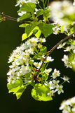Closeup of Cherry Flower at Blossom Royalty Free Stock Photo