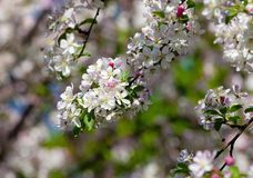Closeup of Cherry Flower at Blossom Stock Images