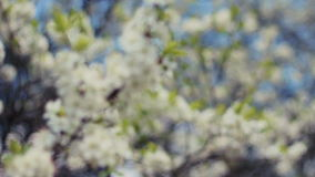 Closeup of cherry flowers blooming in springtime. stock video footage