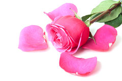 Closeup of cherry rose and petals. On a white background Royalty Free Stock Image