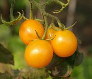 Closeup of Cherry Tomatoes Royalty Free Stock Images