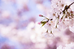 Closeup of cherry tree blossoms in the spring. Closeup of pink cherry tree blossoms in the spring. Soft dreamy background with copy space Stock Image