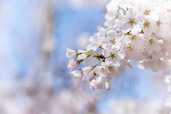 Closeup of cherry tree blossoms in the spring Royalty Free Stock Image