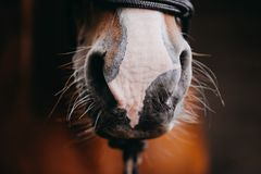 A closeup of a chestnut horse`s nose. A portrait of a chestnut horse taken during the golden hour stock images