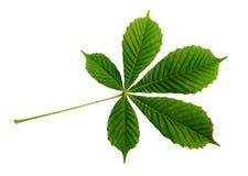 Closeup of chestnut leaf Stock Photos