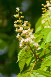 Closeup of Chestnut Tree Flower at Blossom Stock Photography