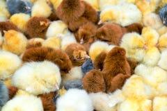 Closeup of Chicks Stock Photography