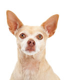 Closeup of Chihuahua Dog Stock Photography