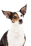 Closeup of Chihuahua and Terrier Mixed Breed Stock Photos