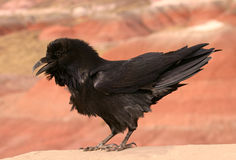 Closeup of a Chihuahuan Raven Stock Photography