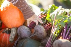 Closeup. child hand and harvested different vegetables, autumn day. Autumn harvest: organic pumpkins and squashes, beetroots and big carrots at the wheelbarrow Royalty Free Stock Photography
