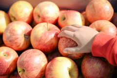 Closeup of child's hand taking apple. Store display full of red yellow apples on purple box. royalty free stock photography