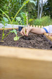 Closeup of a childs hand planting a fresh green seedling of blac. K radish into a soil in a garden high beam Stock Images